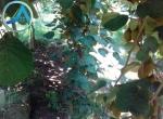 خرید باغ کیوی چمخاله