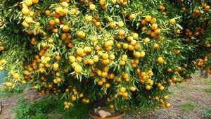 باغ میوه شمال