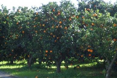 خرید باغ پرتقال آمل